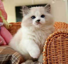 ragdoll cat:  He looks like Oliver without the grey mask.  Sweet Ollie was a good kitty