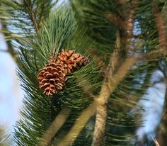 Evergreen boughs are the primary component of a cemetery blanket. Cemetery Decorations, Farm Crafts, Cemetery Flowers, Nature Crafts, Fruit Trees, Holidays And Events, Evergreen, Gardening Tips, Wreaths