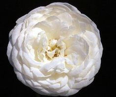 FAIR BIANCA - David Austin English Rose. Pure white fully double blooms with a green center on a nice, small, upright, constantly blooming plant. Ideal for a small garden, toward the front of a border or even in a pot. ( Image - Heirloom Roses Nursery)