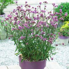 Verbena Bonariensis Lollipop - new dwarf variety.