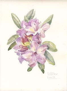 Rhododendron watercolor drawing, mauve flowers. Botanical still life by Catalina