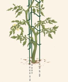 Ladder support for indeterminate tomatoes