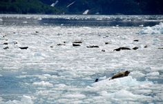 Harbor Seas Pulled Out on Ice - Kenai Peninsula, Alaska - see our travel blog: www.UnhookNow.com