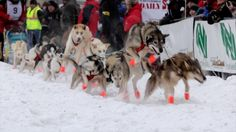 2014 Yukon Quest 1,000 Mile International Sled Dog Race is underway! Here is our video with all the action from the start line on Saturday 1st February, 2014...