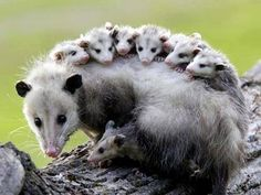 mom ;) Opossum carrying her babies on her back.