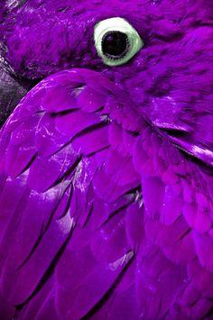 everything purple | Things Purple / Purple parrot