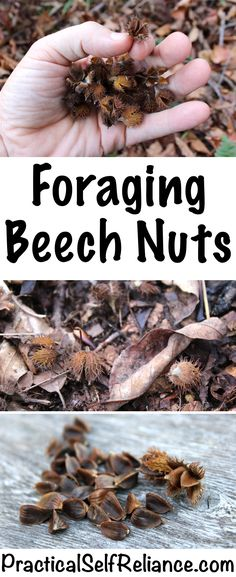 Foraging Beech Nuts — Practical Self Reliance