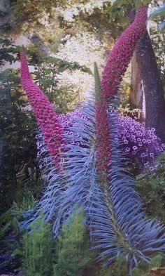 Pride of Madeira, Echium candicans, is a species of flowering plant in the family Boraginaceae, a rapidly growing evergreen shrub to 4 to 6 feet tall or more by as wide.This is a good plant for mild coastal climates and seaside gardens. Strange Flowers, Unusual Flowers, Rare Flowers, Amazing Flowers, Pink Flowers, Lilies Flowers, Unusual Plants, Rare Plants, Exotic Plants