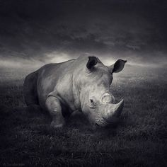the Western Black Rhino has officilally been declared extincted...