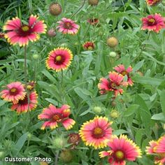 Native to the plains and Western U., Blanket Flower adds vibrant, bold color to any sunny garden and blooms for months. This perennial Gaillardia is extremely easy to grow and will dazzle the summer garden year after year with spectacular blooms. Backyard Water Feature, Ponds Backyard, American Meadows, Pond Landscaping, Wildflower Seeds, Organic Gardening, Gardening Tips, Balcony Gardening, Summer Garden