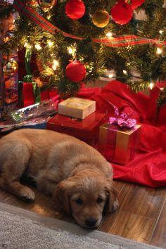 Golden Christmas Puppy