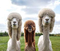 Alpacas.  Dig the hairdos!
