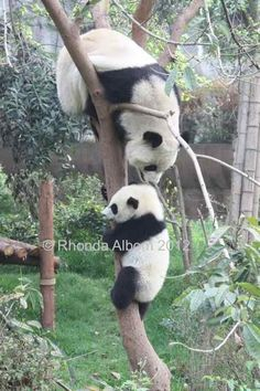 Baby Panda learns to climb a tree in Chengdu China (at the Panda research center)