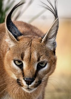 """The caracal is a medium sized cat which it spread in West Asia, South Asia, and Africa. The word Caracal is from Turkey """"Karakulak"""" which means """"Black Ears"""". Here is all about caracal as a pet. Small Wild Cats, Big Cats, Cats And Kittens, Cute Cats, Caracal Caracal, Serval Cats, Beautiful Cats, Animals Beautiful, Ocelot"""