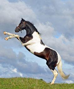 Maximus Beautiful Horse Pictures, Beautiful Horses, Animals Beautiful, Majestic Horse, Majestic Animals, Animals And Pets, Cute Animals, Horse Rearing, Horse World
