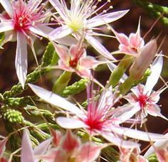calytris exstipulata - Recherche Google Shrubs, Flora, Plants, Google Search, Australia, Shrub, Plant, Planets