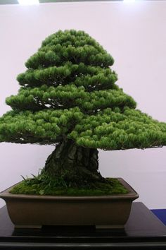 Evergreen Bonsai Tree