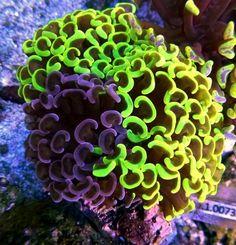 BiColor Anchor Hammer Coral