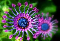 South African daisy - amazing that this is real!!!
