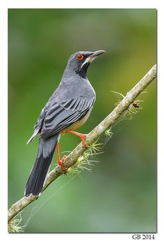 Birds RED-LEGGED THRUSH