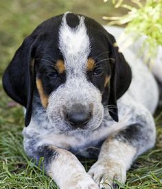 Bluetick Coonhound breed info,Pictures,Characteristics,Hypoallergenic:No