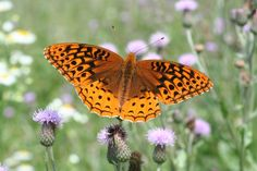 (Great spangled fritillary) Excellent resource for identifying butterflies of north-east/mid-Atlantic area: Butterfly Field Guide - Friends of the East Brunswick Environmental Commission (NJ)