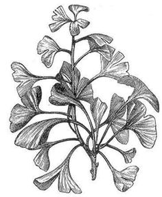 ginkgo leaves drawing - Google Search