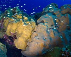 This week, NOAA listed 20 species of coral as threatened, including this Orbicella faveolatta.