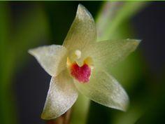 Orchid: Octomeria tricolor