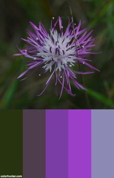 Spotted+Knapweed+(centaurea+Stoebe)+~+Invasive+Color+Scheme