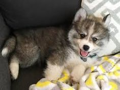 We can't stop looking at photos of this pomeranian husky hybrid puppy Puppies for sale >> Cute Funny Dogs, Cute Cats And Dogs, Dogs And Puppies, Funny Puppies, Puppies Tips, Funny Pets, Doggies, Love My Dog, Really Cute Puppies