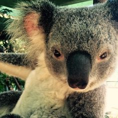 Rocher sure knows how to pose ;) #cuteanimalselfies #cuteanimals #koala…