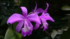 Catleya orchid.