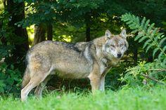 Parco del Ticino: bentornato lupo!