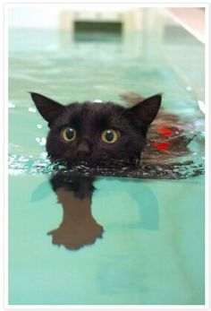 A cat rehabs with hydrotherapy after being hit by a car.