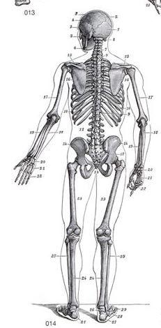 Skeleton Back Figure Drawing Art Reference Art