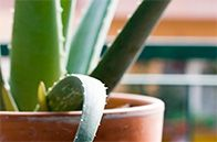 Cold & Flu Prevention 10 Houseplants that Detox Your Home - See more at: http://www.healthcentral.com/cold-flu/cf/slideshows/10-houseplants-detox-your-home?ap=831#slide=12