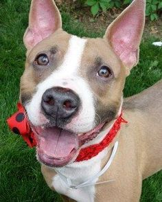 Belladonna is an adoptable American Staffordshire Terrier, Fox Terrier Dog in Bronx, NY *CROSS/COURTESY POST*My  name is BELLADONNA and I'm a gorgeous 2 yr F White/Brown Pitbull/Box ... ...Read more about me on @petfinder.com