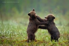 Smack! by Marsel van Oosten on 500px Two brothers playing, just after heavy rains. Shot from a hide in Finland.