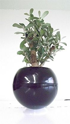 Great gift Greenball 3 way planter and olive tree. Adds a splash of colour. Perfect for all places. Home. Office. Kitchen. Bedroom. Cafes. Gifts for the garden. Creative gift ideas. Modern planters. Contemporary planters. Creative garden ideas. Environmental. Eco-friendly. Water saver. Olives. Fruits. Small tree plant.Gift for her. Gift for him, mother, father, her, friend, girlfriend, valentines, Christmas. Best4garden http://www.amazon.co.uk/dp/B00O553L4S/ref=cm_sw_r_pi_dp_7Q0pwb00WPVDT