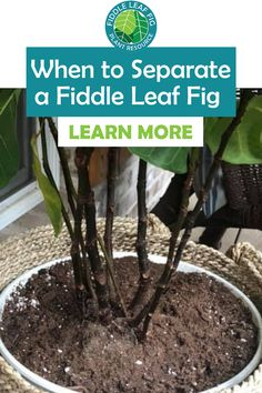 Many times when we acquire a new fiddle leaf fig, we might not just be getting one plant! Our fiddle leaf fig may actually be made up of several stems (or trunks, for larger plants) in the same pot. This may require you to split your fiddle leaf fig into separate, smaller plants. So how do you know when to separate a fiddle leaf fig? Let's talk about the signs to watch for that let you know it's time to split. Outdoor Plants, Air Plants, Fiddle Leaf Fig Tree, Tree Care, Large Plants, Plant Care, Stems, Houseplants, Separate