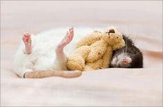 ミニチュアのテディベアと一緒に眠る小さいラットの写真がカワイイ!