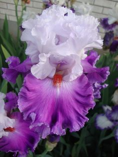 TB Iris germanica 'Polka' (Johnson, 2009)