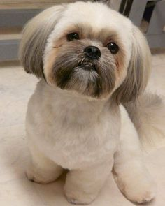 Styling is fun! Everyone loves to look up-to-date and try all the accessories on themselves. Then why not do the same for your Shih Tzu as well? Trimming their hair is old and boring; there are so many new haircuts for you to try on your pet canine. There so many professional pet salons now,...