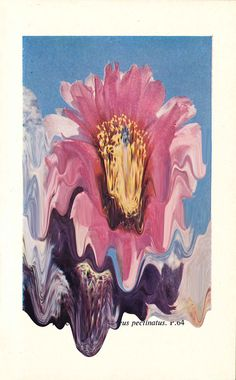 Plate 33. Echinocereus Pectinatus — Designspiration