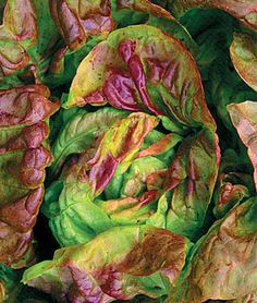 Yugoslavian Red Lettuce.  	  We consider this the most beautiful lettuce we have grown. With bright-green cupped leaves splashed with rosy-red, this butterhead type makes a visual and flavorful splash in the salad bowl. The taste is superb, buttery and mild.