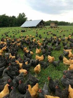 I wish my farm looked like this ❤️😍😘🐥🐣🐔🐤🐧