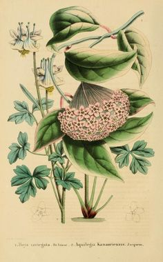 hoya variegata, aquilegia kanaoriensis - high resolution image from old book.