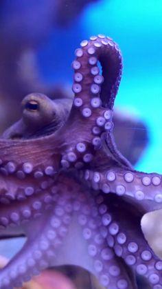 Underwater Animals, Underwater Creatures, Underwater Life, Ocean Creatures, Beautiful Sea Creatures, Animals Beautiful, Ocean Photography, Octopus Photography, Especie Animal