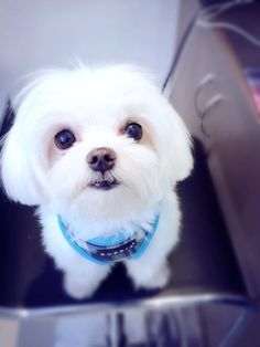 You talkin' to me? Baby Maltese, Maltese Poodle, Maltese Dogs, Teacup Maltese, Pet Dogs, Dog Cat, Doggies, Cute Puppies, Dogs And Puppies